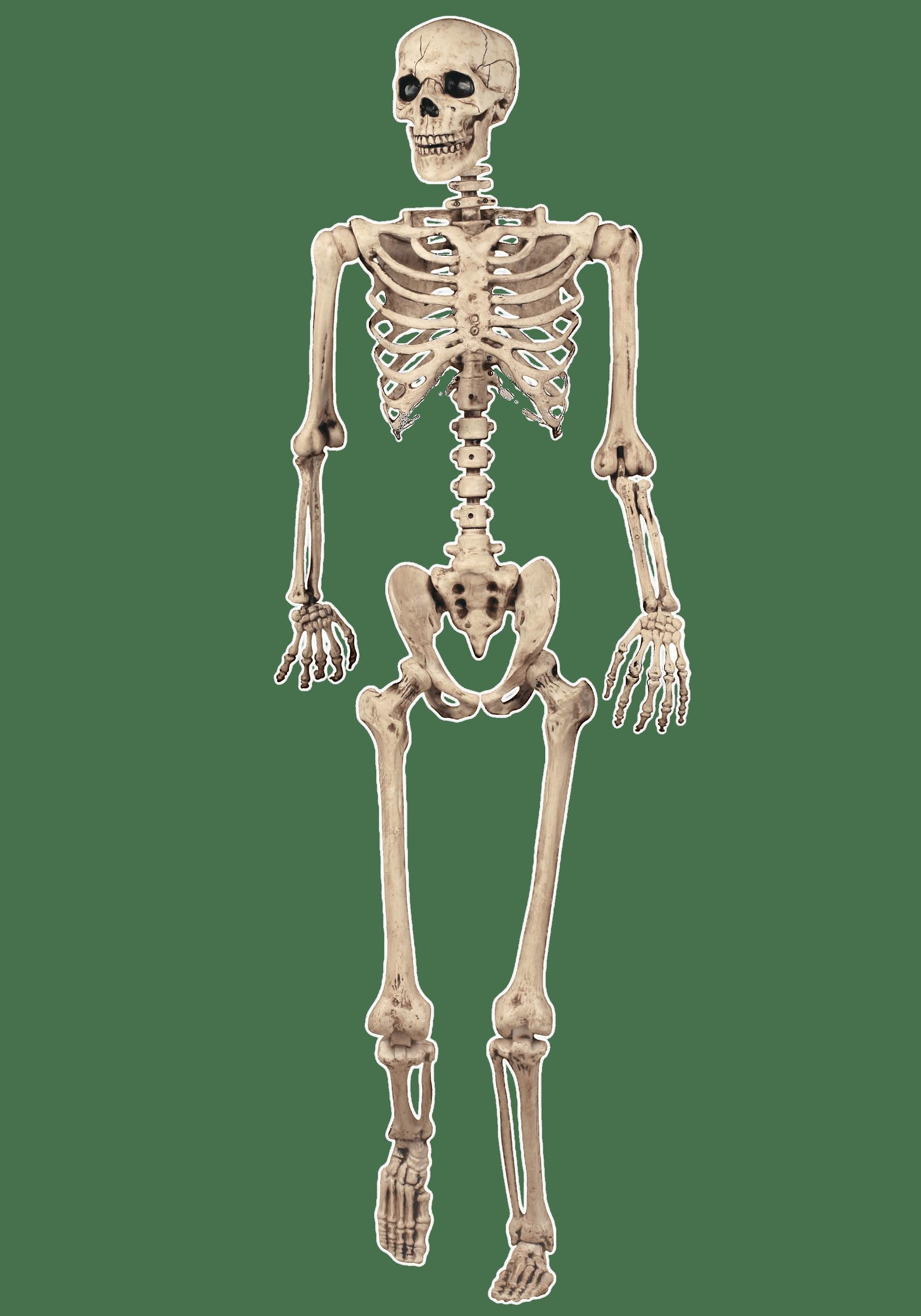 Esqueleto Entero Modelo PNG transparente.