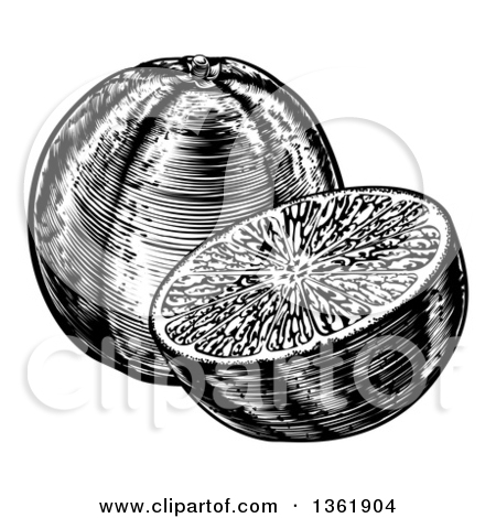 Clipart of Black and White Woodcut or Engraved Navel Oranges.