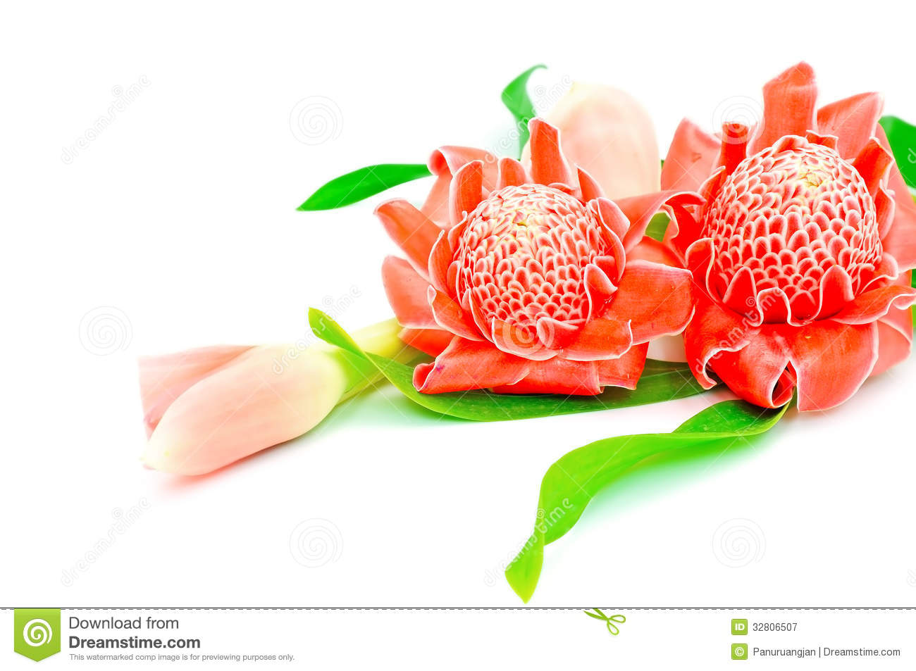Torch Ginger Royalty Free Stock Photography.