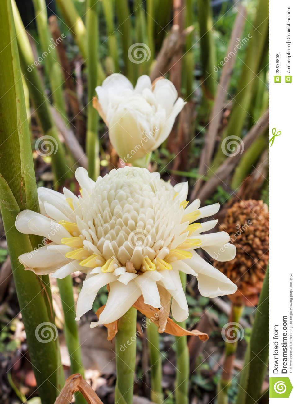 White Torch Ginger Flower ( Etlingera Elatior). Stock Photo.