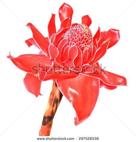 Tropical Flower Red Torch Ginger Etlingera Stock Photo 111906143.