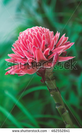 Etlingera Stock Photos, Royalty.