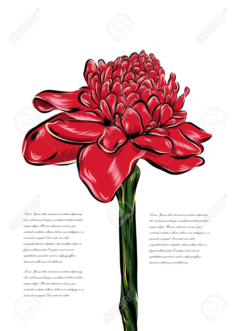 Etlingera Tropical Flower Vector On A White Background. EPS.