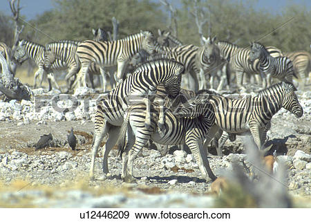 Stock Photograph of zebras, namibia, pan, etosha, love u12446209.