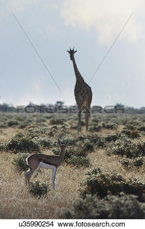 Stock Photo of Gazelle and giraffe looking at each other, Etosha.