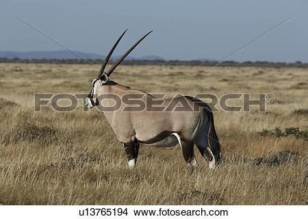 Stock Photo of Oryx grazing on plains, Etosha National Park.