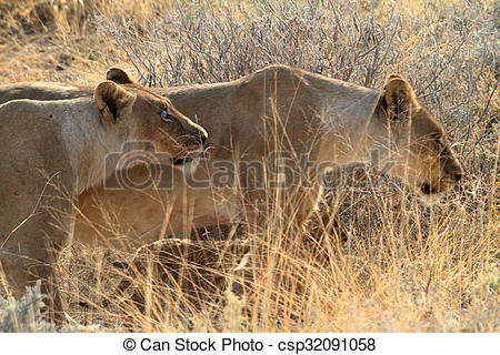 Stock Illustrations of Lions in Etosha National Park in Namibia.