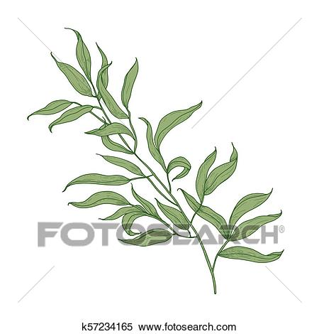 Eucalyptus branch with green leaves hand drawn on white background. Elegant  detailed drawing of part of plant, tree or shrub. Colorful botanical.