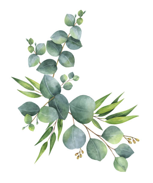 Best Eucalyptus Tree Illustrations, Royalty.