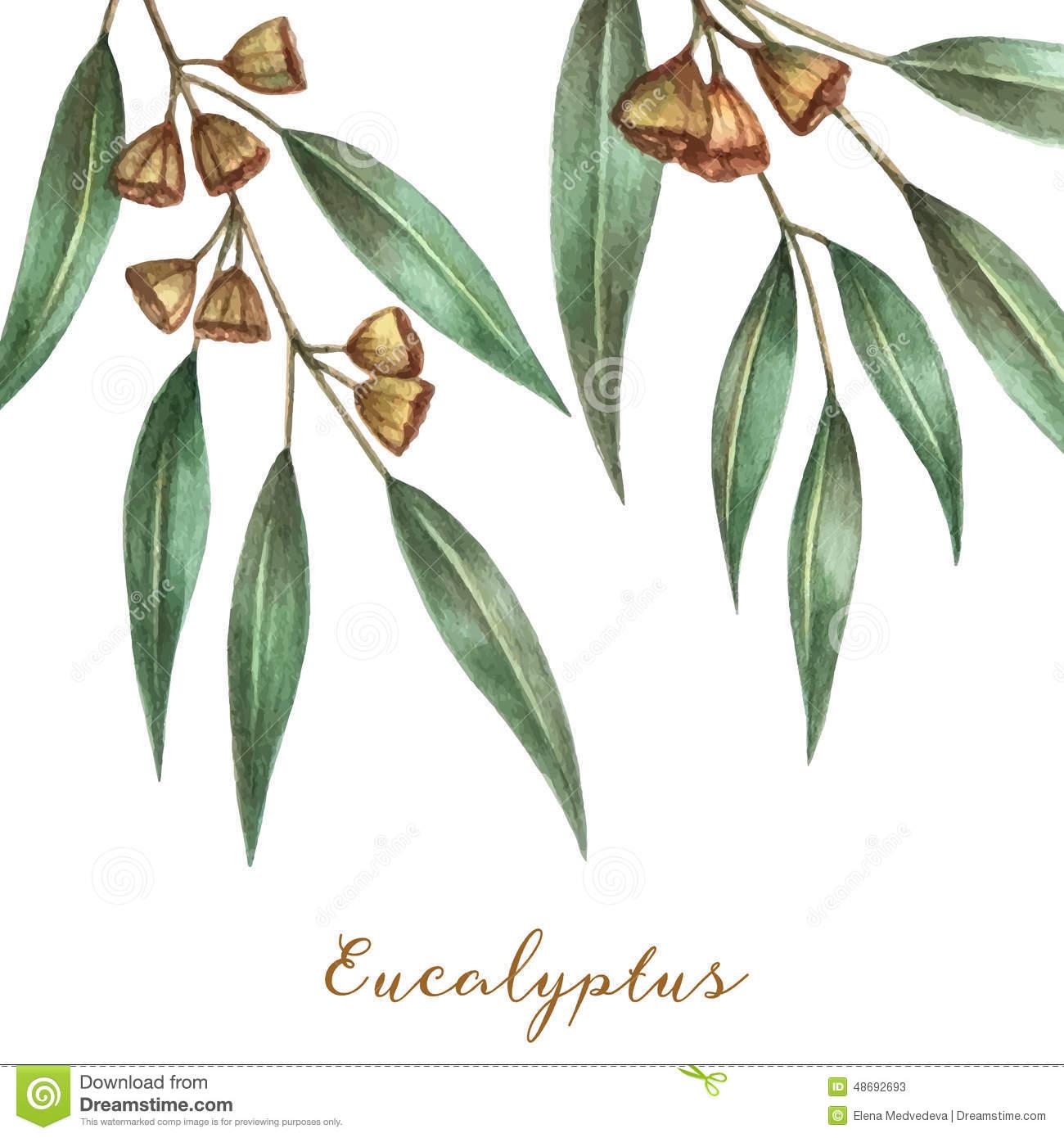 Eucalyptus Stock Illustrations.