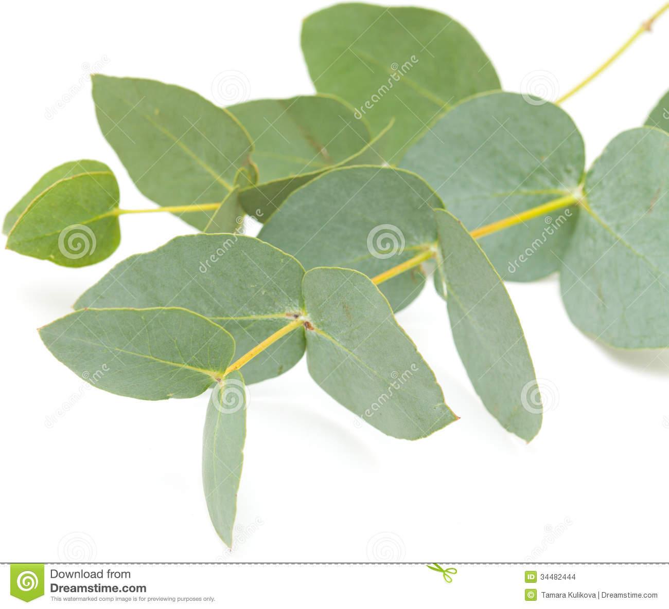 Eucalyptus Clip Art.