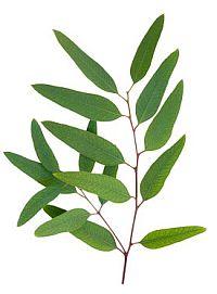 Eucalyptus clipart.