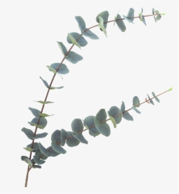 Eucalyptus PNG Images, Free Transparent Eucalyptus Download.