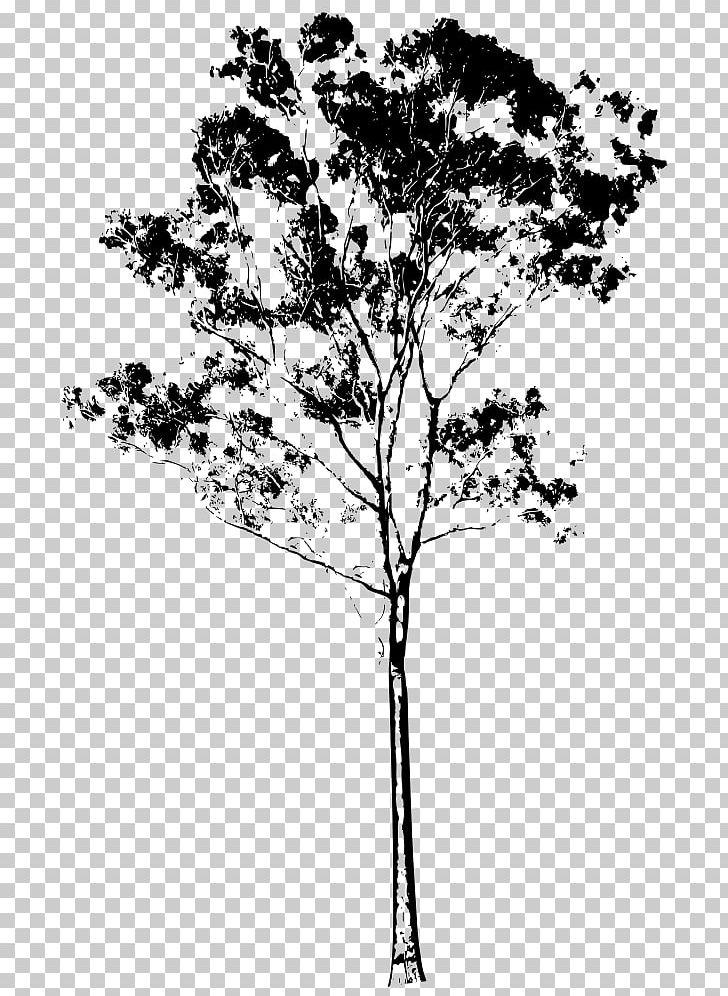 Tree Drawing Eucalyptus Gunnii Eucalyptus Honey PNG, Clipart.