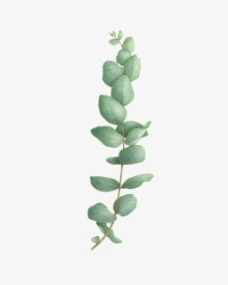 Free Eucalyptus Clip Art with No Background.