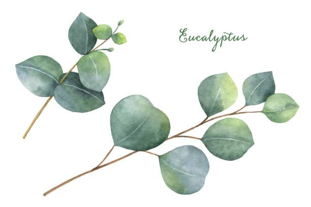 Royalty Free Eucalyptus Leaf Clip Art, Vector Images.