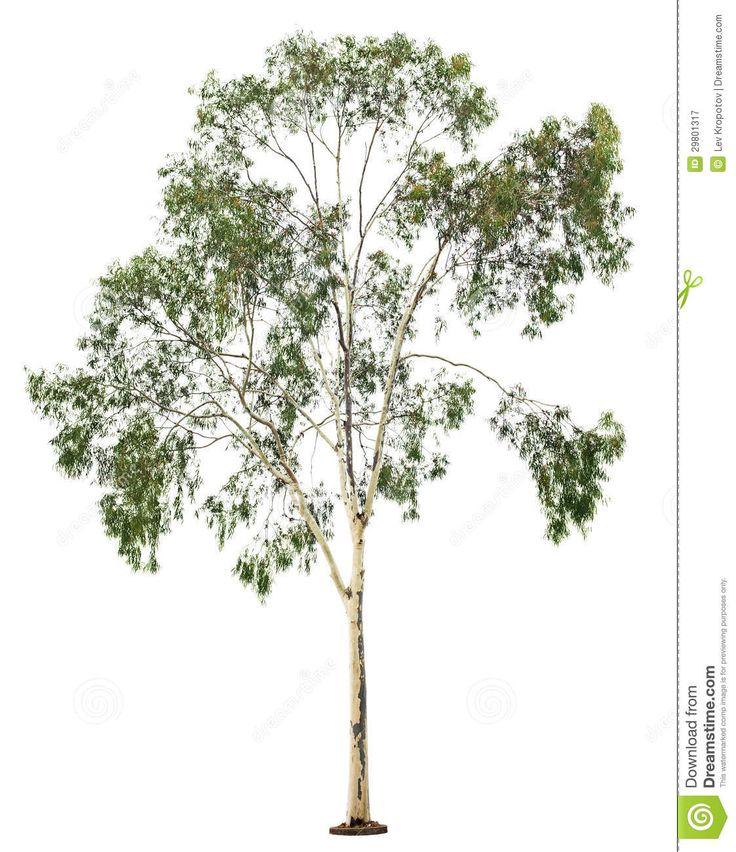 Eucalyptus Tree Clipart Eucalyptus tre.
