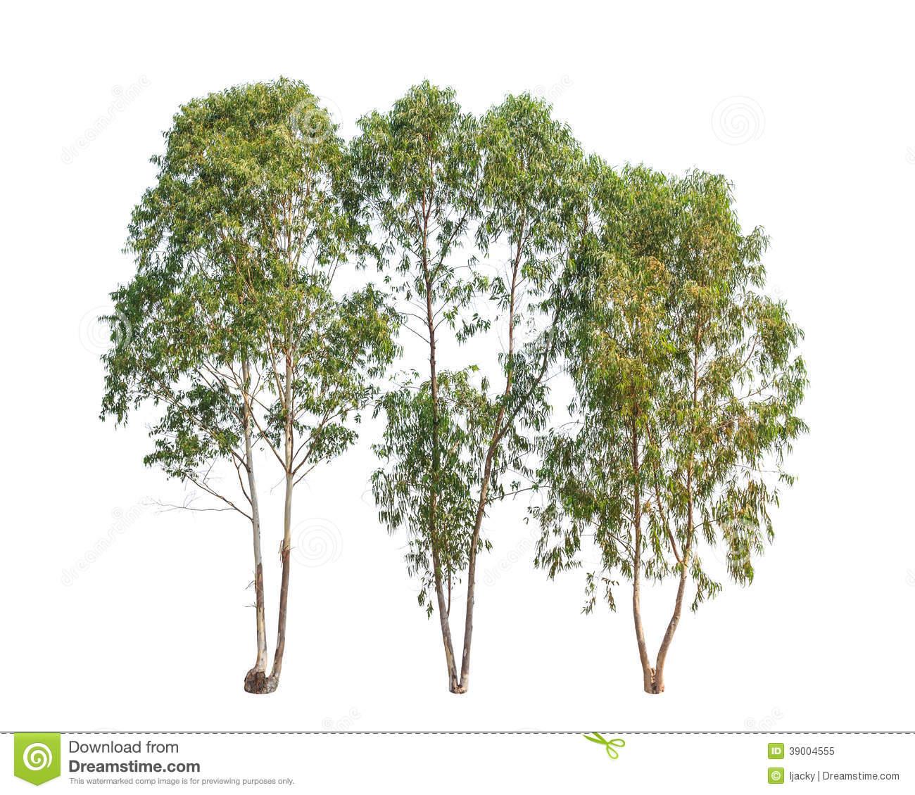 Three Eucalyptus Trees, Tropical Tree Stock Photo.