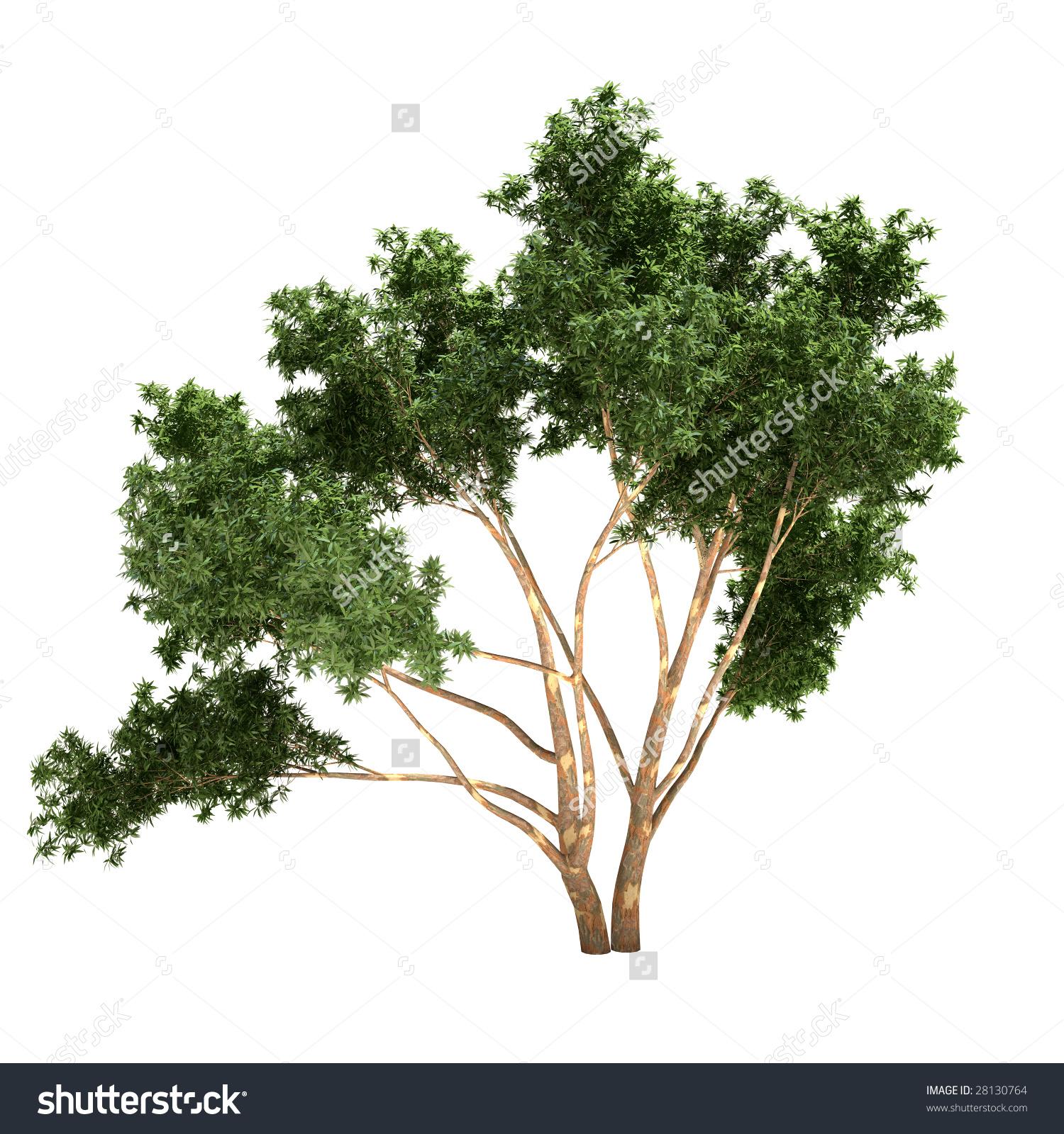 Eucalyptus Tree Isolated On White Background Stock Illustration.
