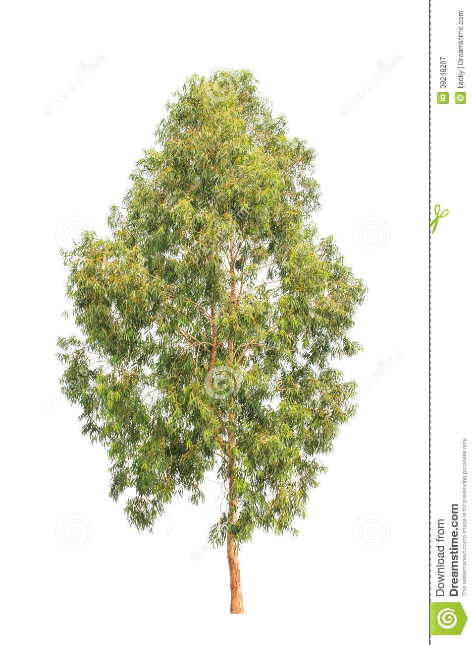 Eucalyptus Tree, Tropical Tree Isolated On White Stock Photo.