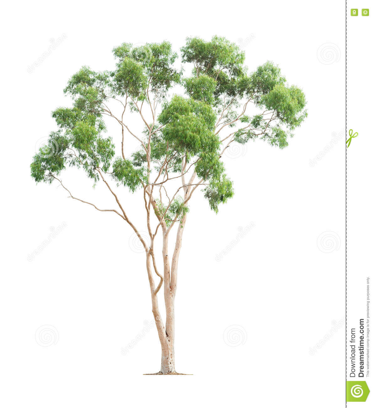 Green Eucalyptus Tree Stock Photo.