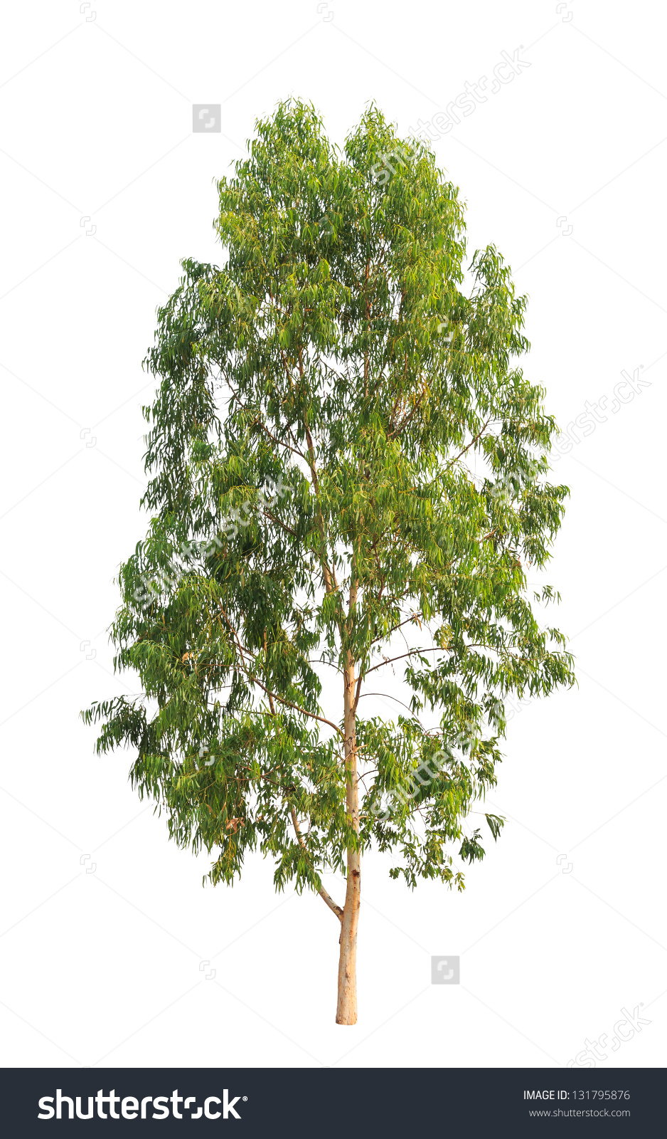 Eucalyptus Tree Tropical Tree Northeast Thailand Stock Photo.