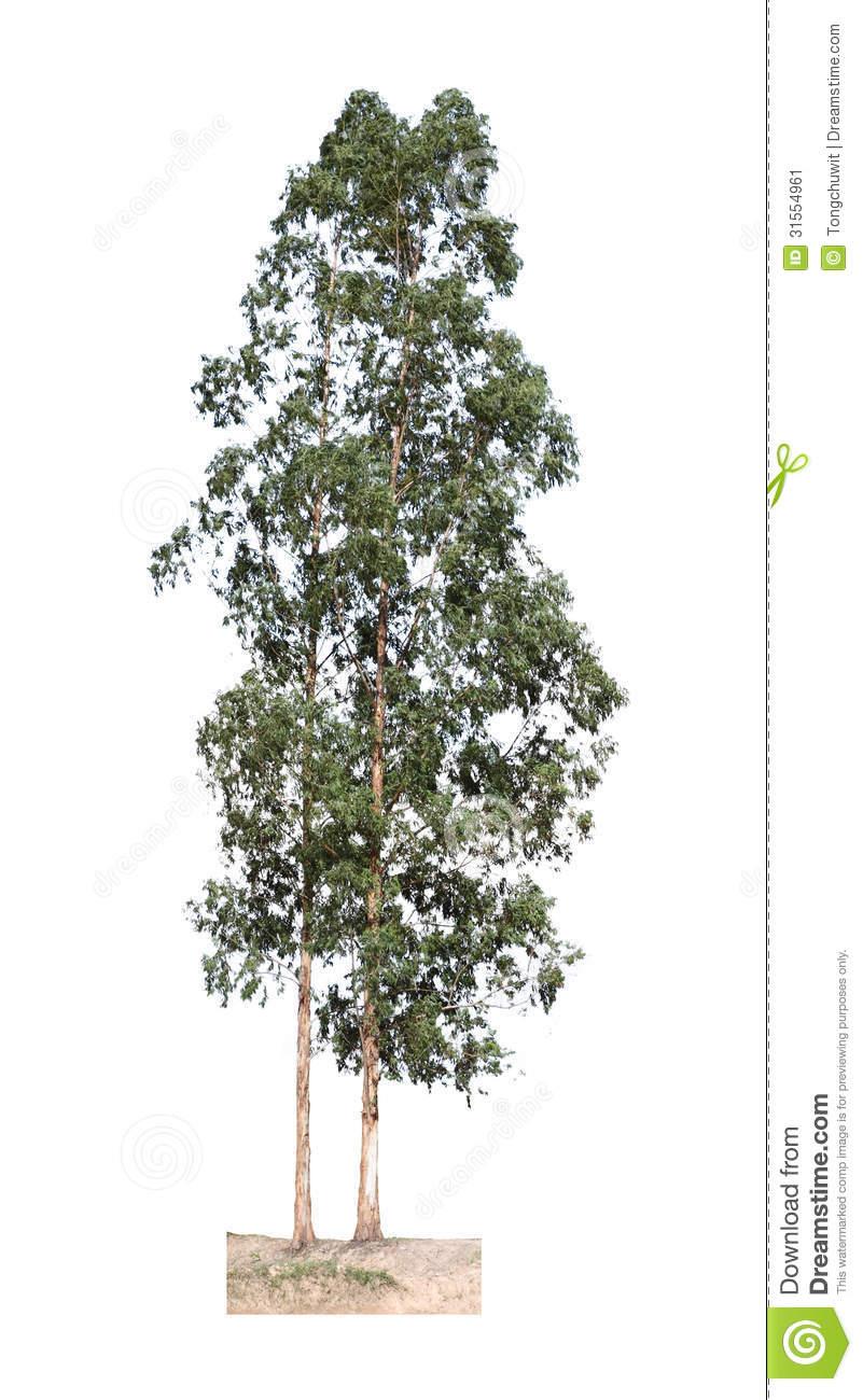Eucalyptus Tree Stock Image.