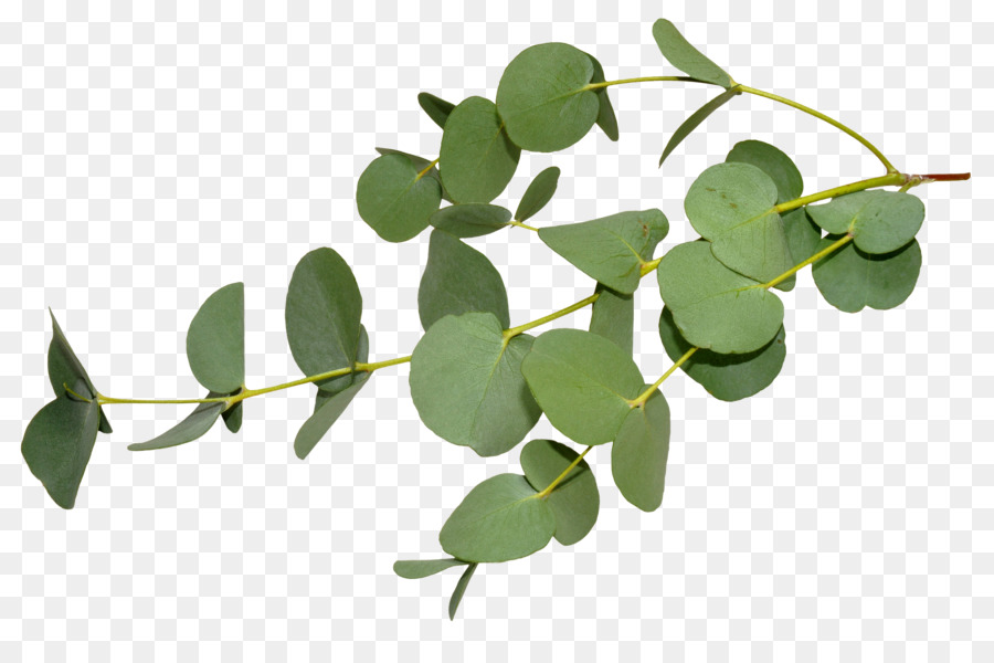 Eucalyptus Garland Png Shortleaf Black Spruce.