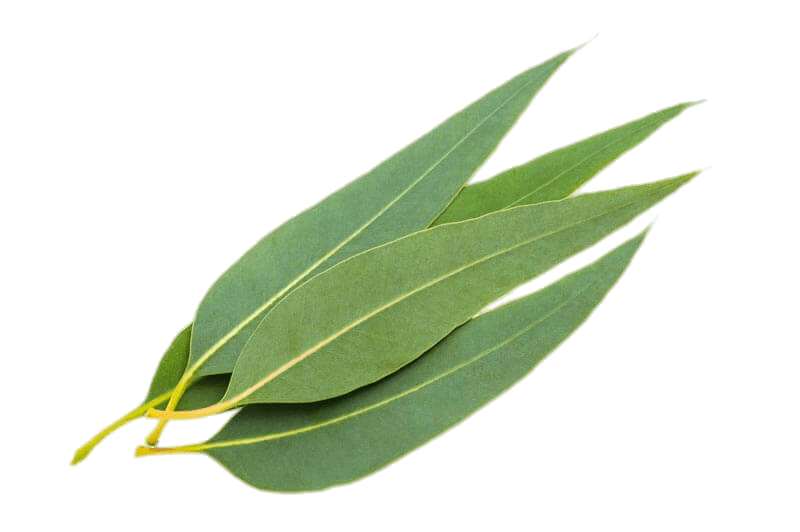 Eucalyptus Leaves transparent PNG.