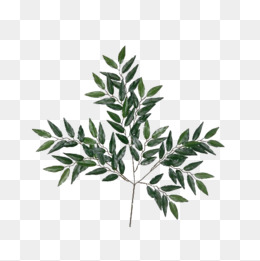 Eucalyptus Leaves Png, Vector, PSD, and Clipart With Transparent.
