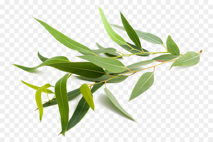 Mint Leaf png download.