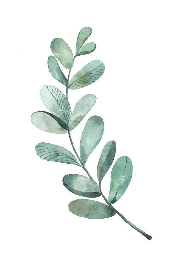 Bilderesultat for eucalyptus leaves.