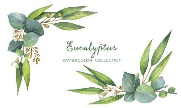 Best Eucalyptus Leaves Illustrations, Royalty.