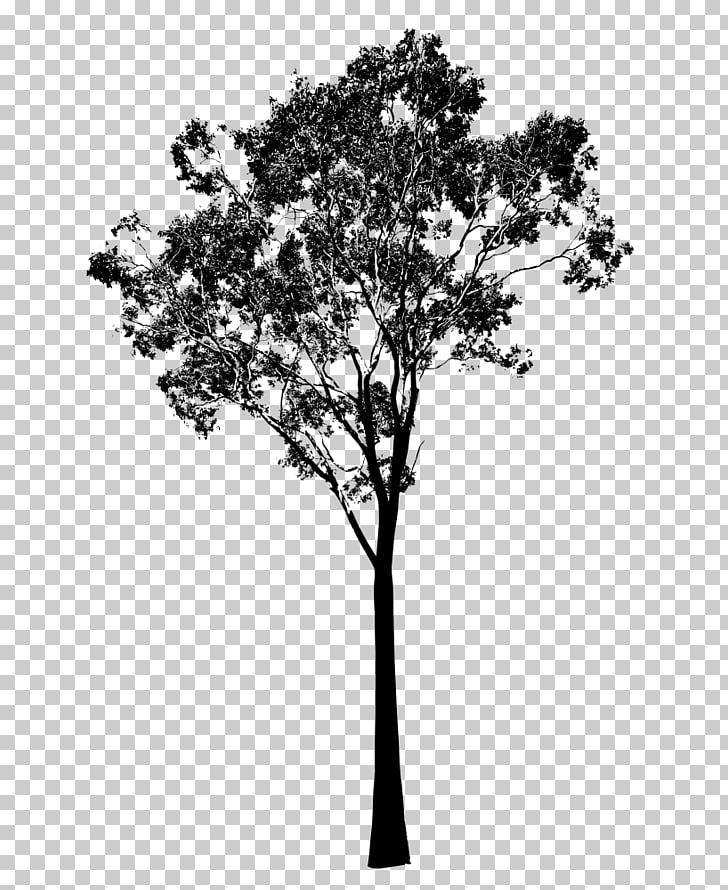Gum trees Silhouette , eucalyptus, tree illustration PNG.