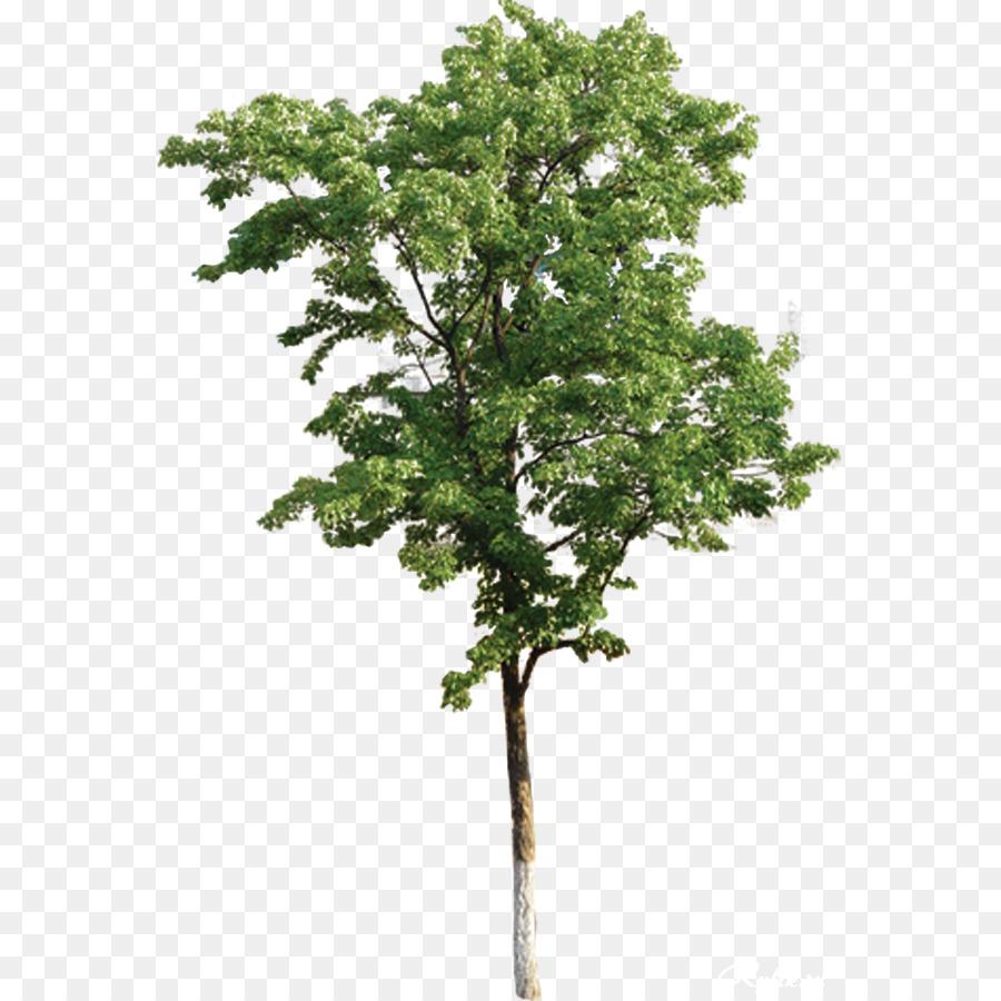 Eucalyptus Tree png download.