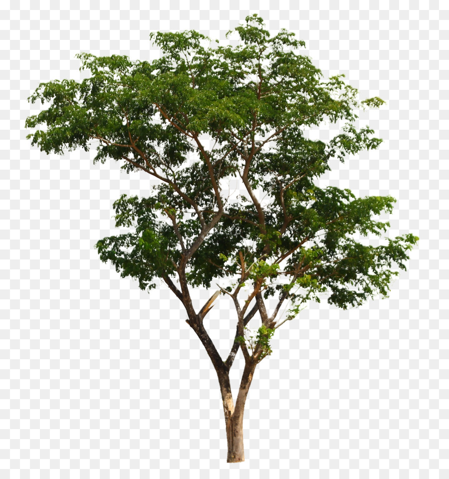 Png Australian Trees & Free Australian Trees.png Transparent Images.