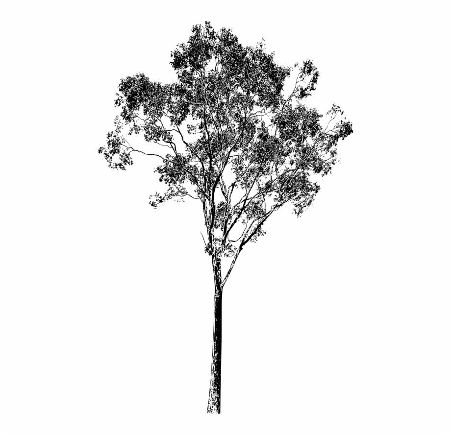 Eucalyptus Tree Drawing.