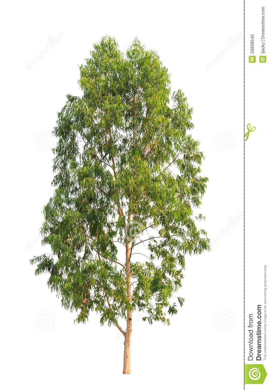 Eucalyptus Tree Royalty Free Stock Photo.