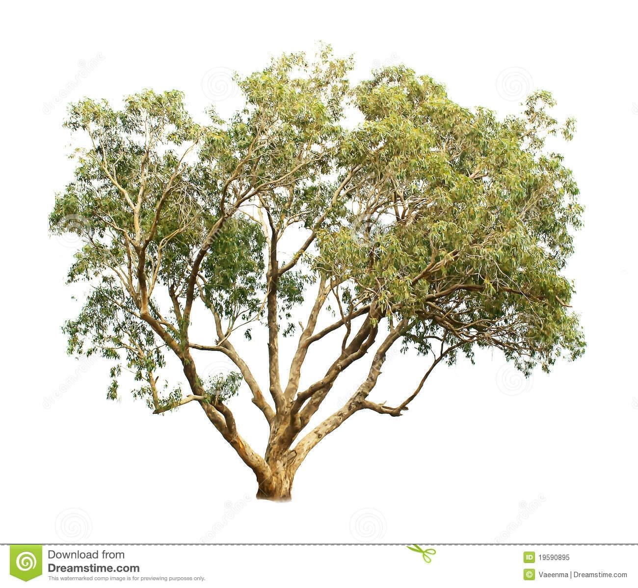 Eucalyptus Tree Clipart.