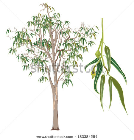 Eucalyptus Tree Stock Images, Royalty.