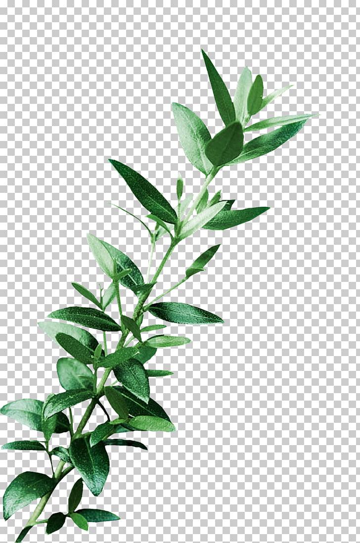 Leaf Digital Art , eucalyptus, green leafed plant PNG.