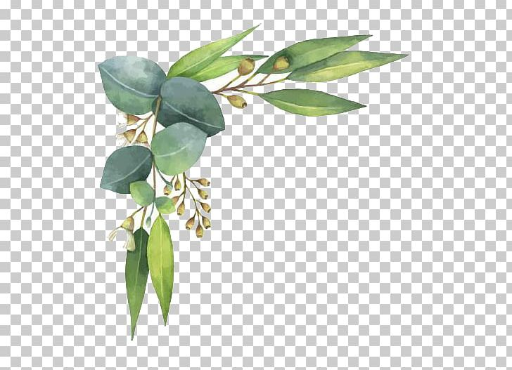 Eucalyptus Polyanthemos Watercolor Painting Illustration PNG.