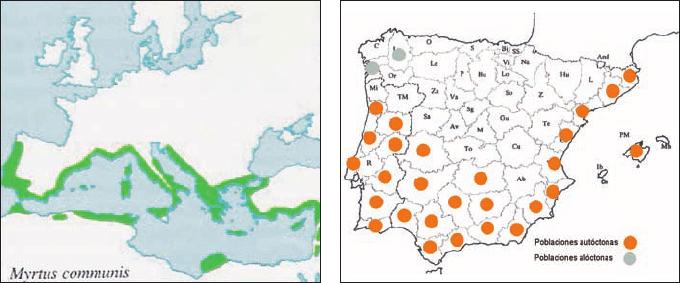 Una población silvestre de mirto (Myrtus communis L., Myrtaceae.