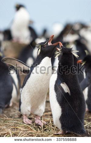 Rockhopper Penguin Stock Photos, Royalty.