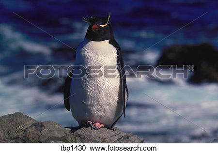 Stock Photography of A rock hopper penguin standing alone on a.