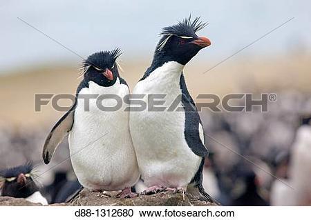 Stock Photography of Falkland Islands , Pebble island , Rockhopper.