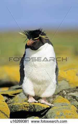 Stock Photography of Adult rockhopper penguin (Eudyptes chrysocome.