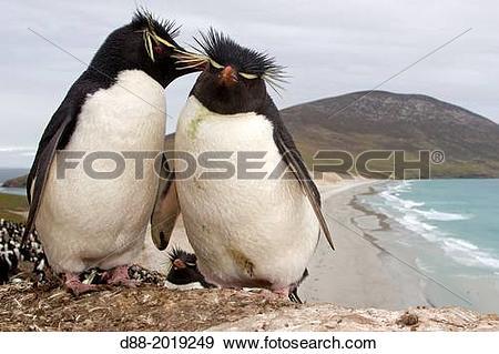 Stock Photograph of Falkland Islands, Saunders island, Rockery.