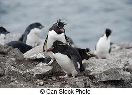 Stock Photos of Colony of Rockhopper Penguins (Eudyptes chrysocome.