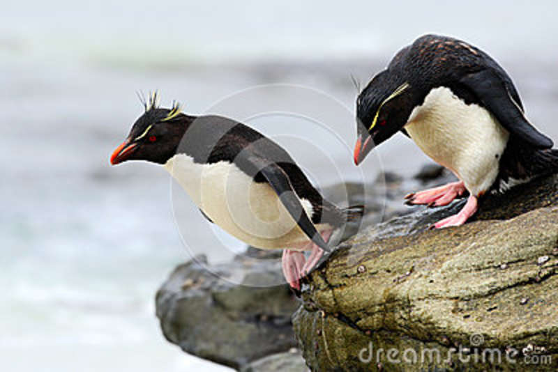 Rockhopper Penguin, Eudyptes Chrysocome, Jumping In The Sea, Water.
